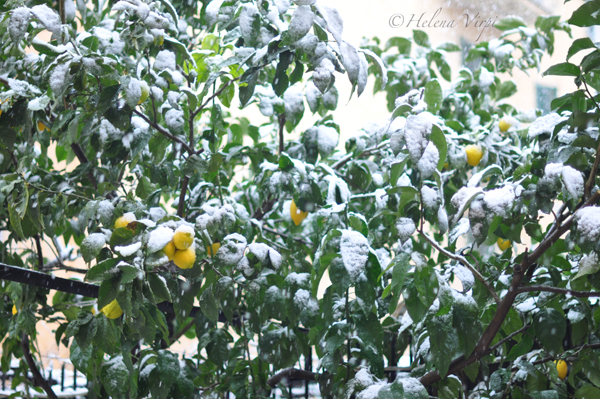 Lemon tree w snow_S
