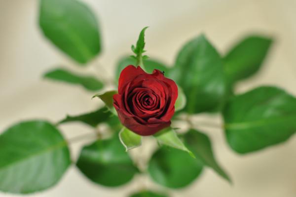 Rosa anniv11