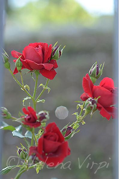 RoseSIG